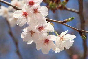 桜170415