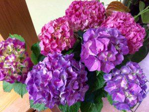 170608紫陽花