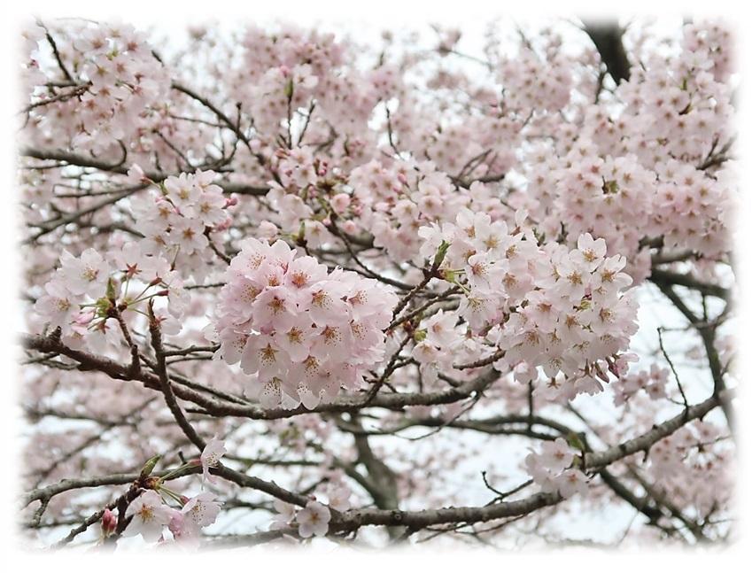桜180404